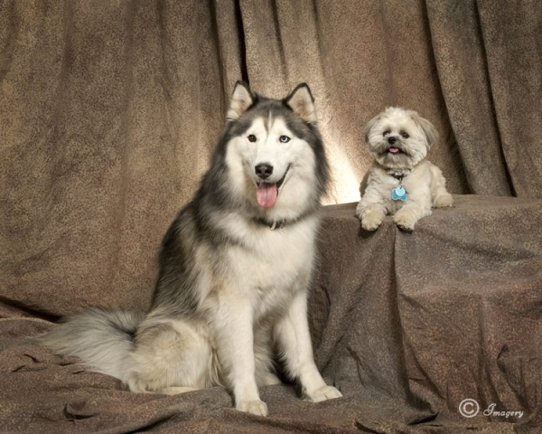 Professional Photo of Large White and Grey Dog and Small White Dog