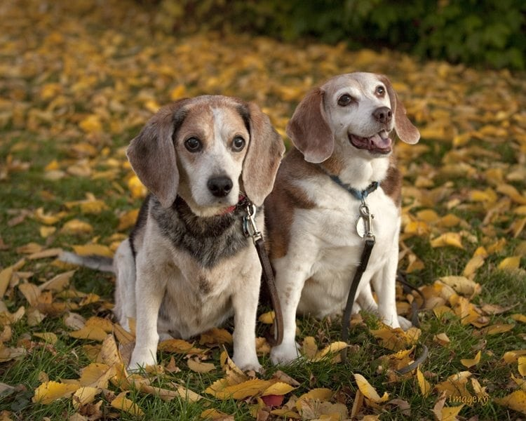 Professional Photo of Two Dogs in Leaves