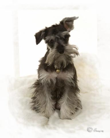 Professional Photo of Grey Dog on White Background