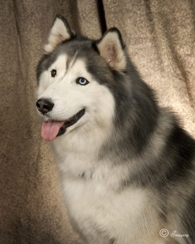 Professional Photo of White and Grey Dog
